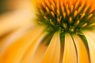 YELLOW CONEFLOWER 1 2012