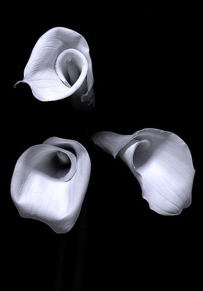 calla-lily-bw-1.jpg