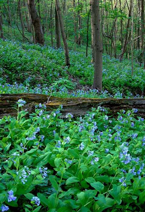 happy-valley-bluebells-4.jpg