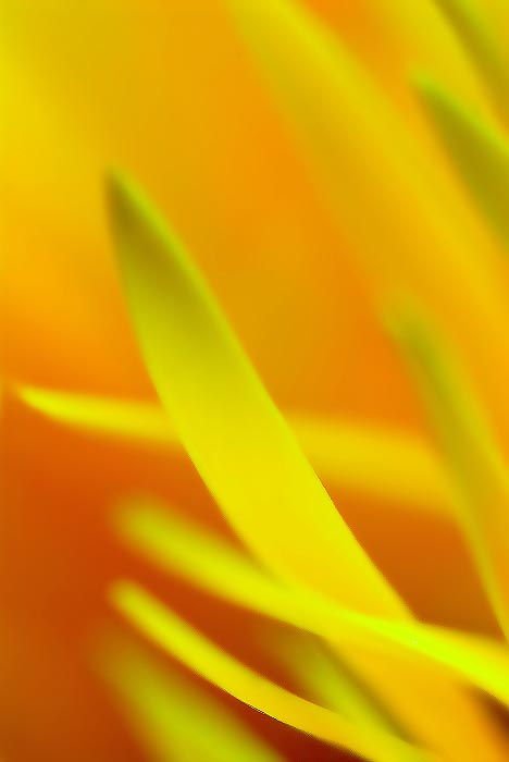gerbera-daisy-abstract-2.jpg
