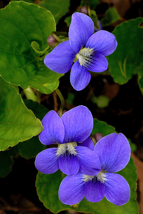 common-blue-violet-1.jpg
