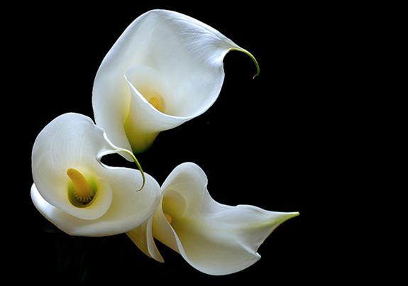 calla-lily-1.jpg
