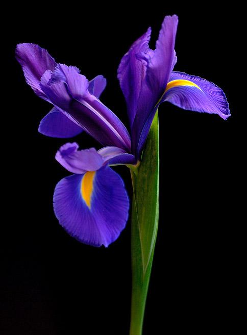 iris-1.jpg