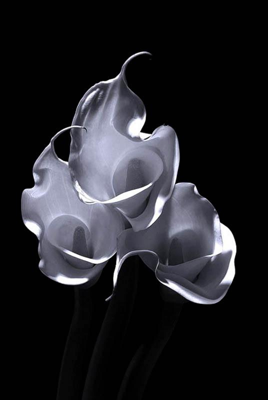 Flame Calla Lily 1 2009  rework