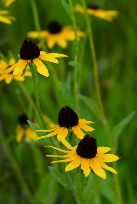 Black Eyed-Susan 1 2009