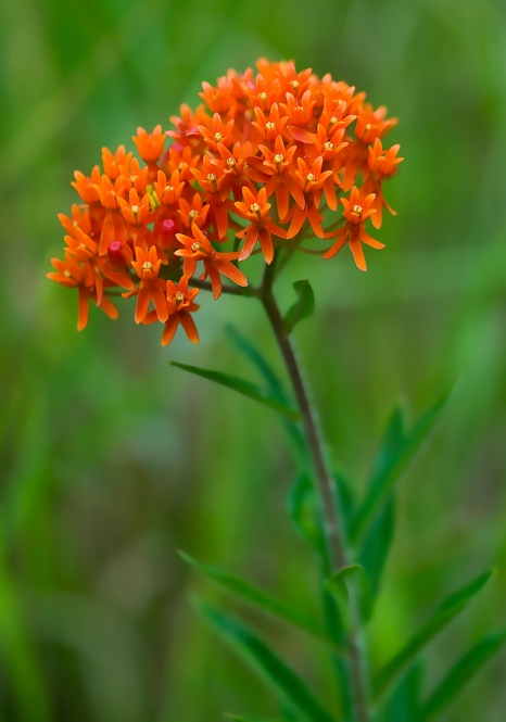 butterfly weed 2 2009