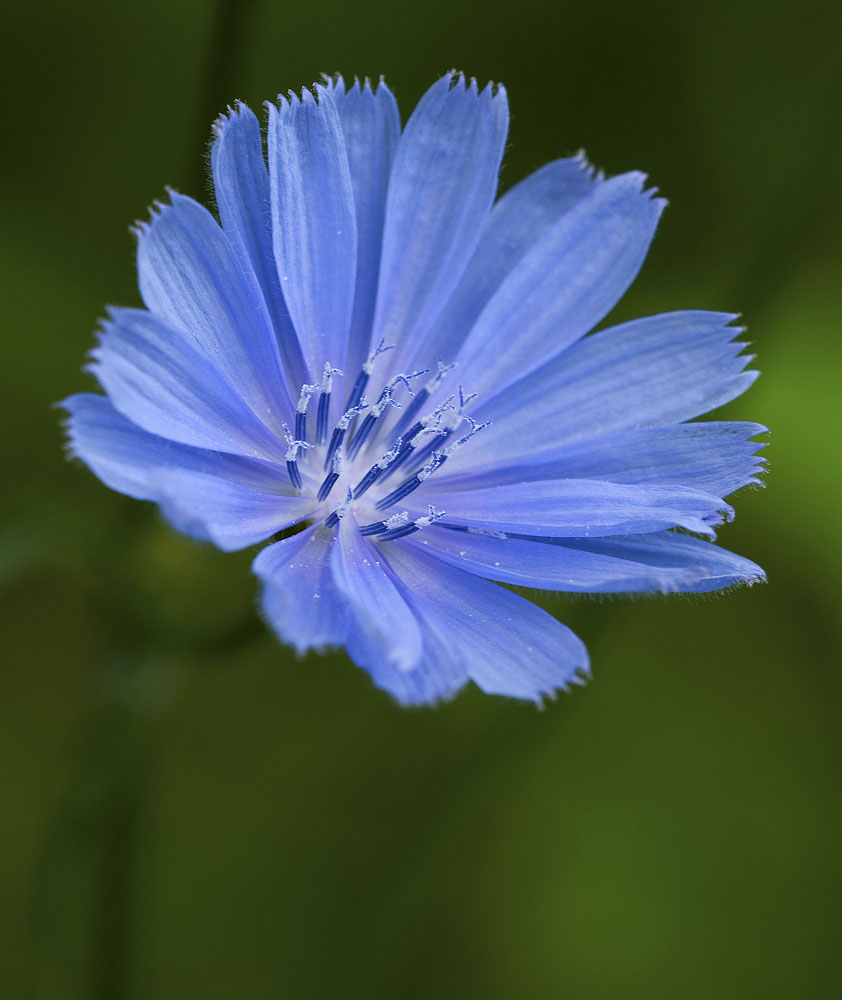 Chicory Flower | www.imgkid.com - The Image Kid Has It!
