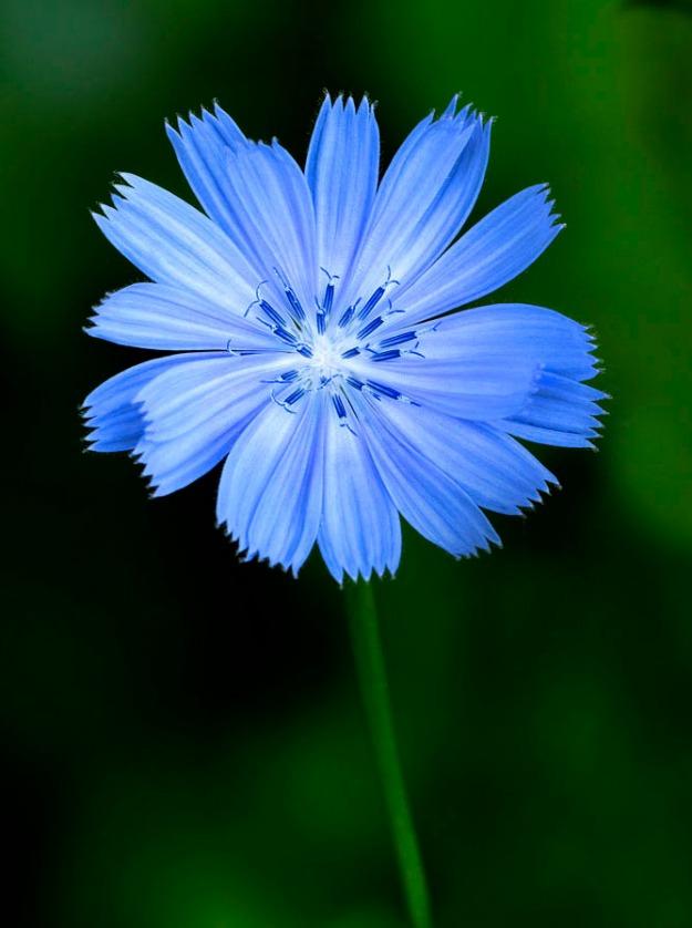 Wild Chicory  2 2009