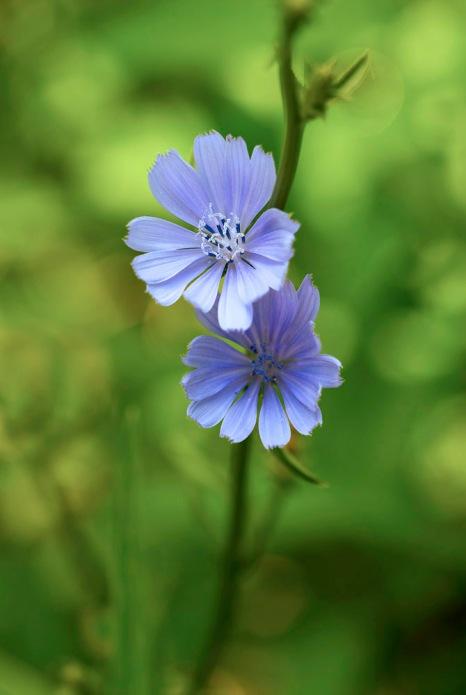 Wild Chicory 4 2009