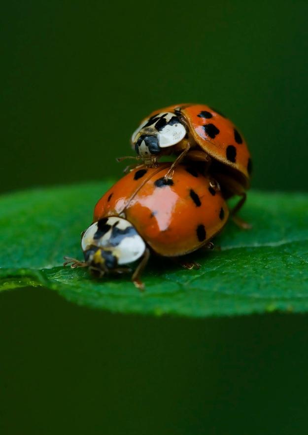 Ladybug mating 1 2009