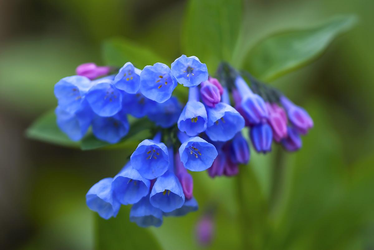 Virginia bluebells madison indiana photography Vibeline