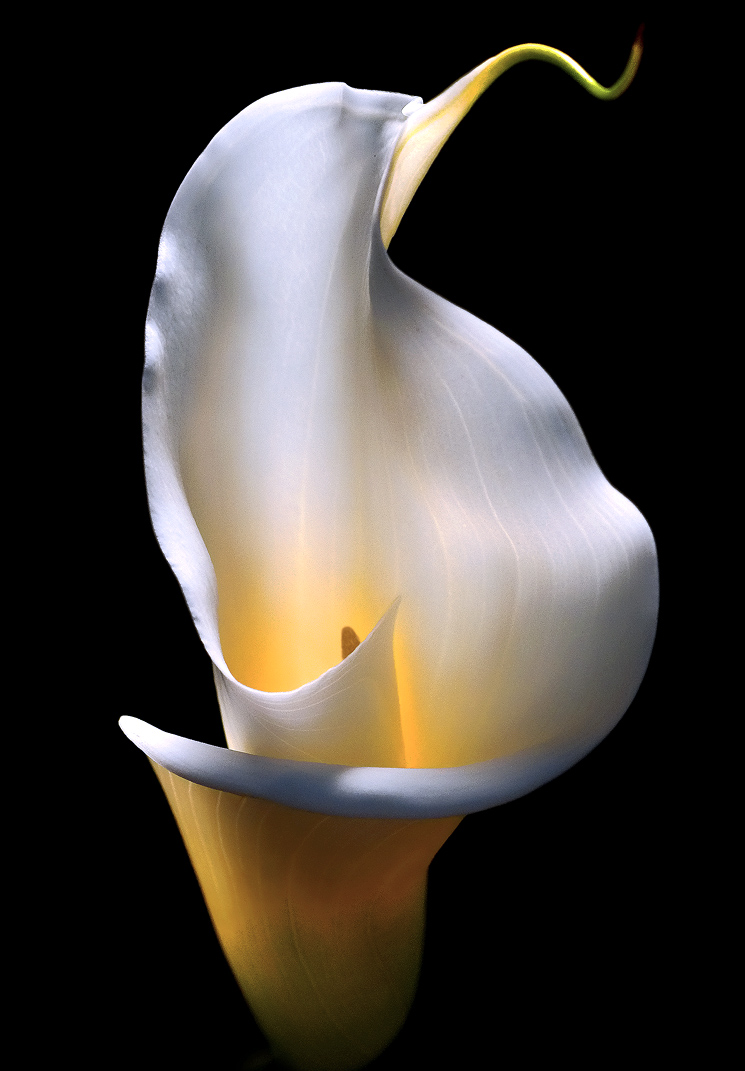 Calla Lily Madison Indiana Photography