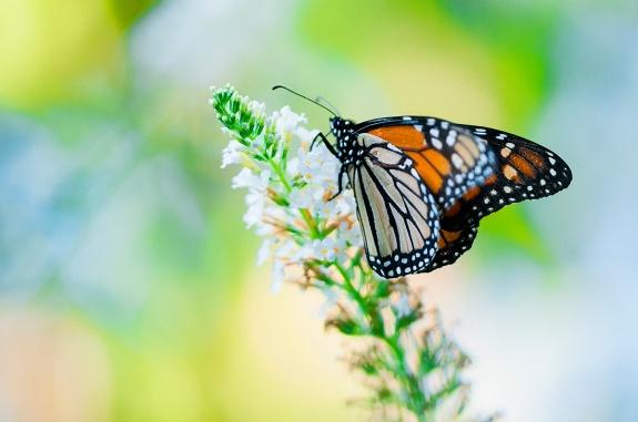 monarch 1 2012