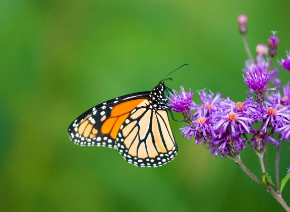 monarch butterfly 1 2012