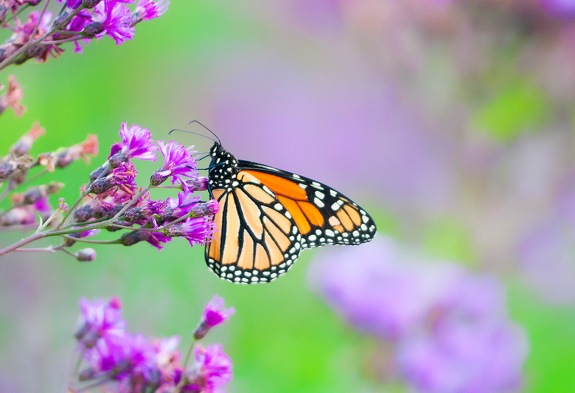 monarch butterfly 2 2012