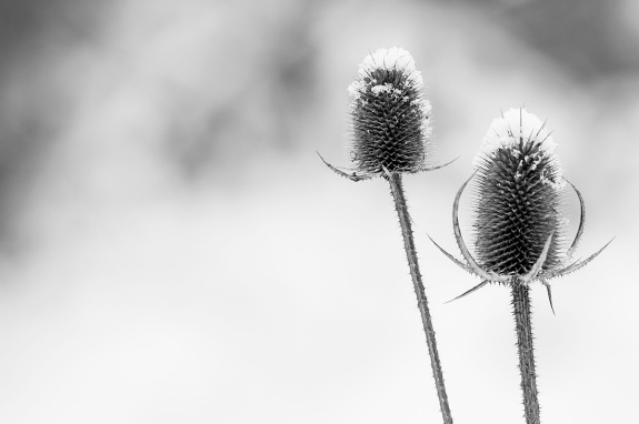 winter thistle 3 2013