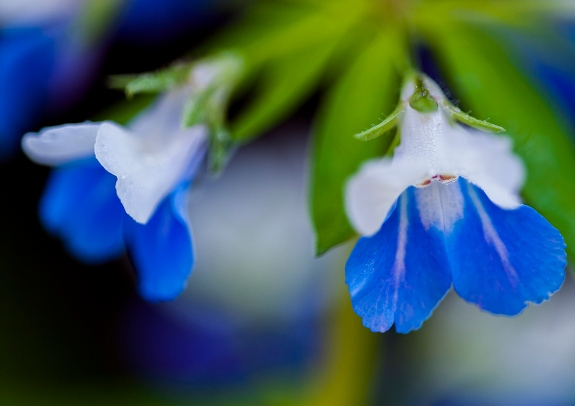 blue-eyed mary 3 2013