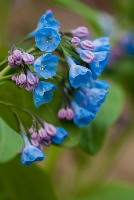 bluebells 3 2013