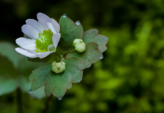 false rue anemone 2 2013