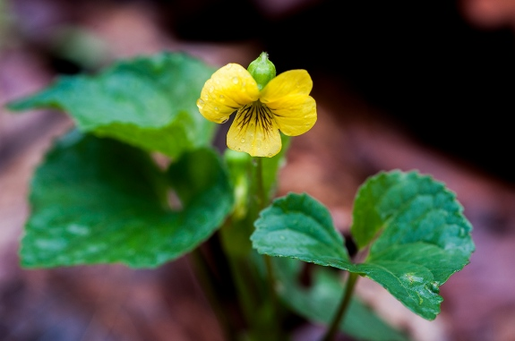 yellow violet 1 2013