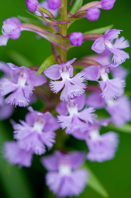 purple fringed orchid 1 2013
