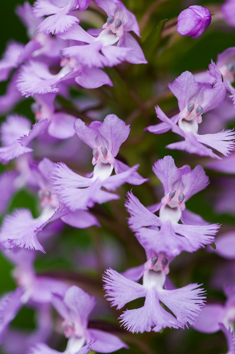 purple fringed orchid 2 2013