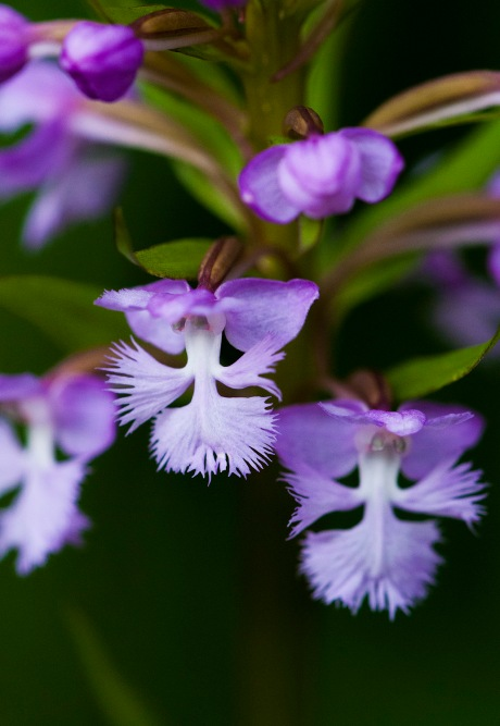 purple fringed orchid 3 2013