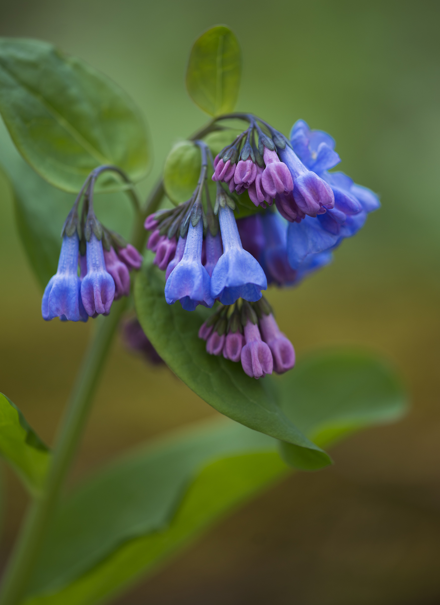 virginia bluebells - Madison Indiana