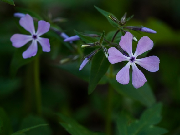 wild phlox 1 2014 clifty falls state park madison indiana