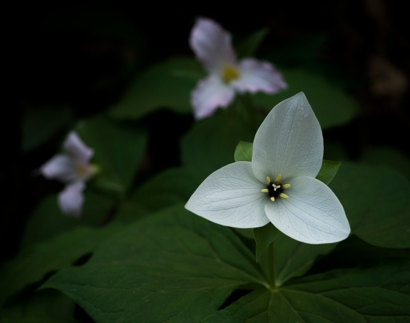 cove hardwood nature trail trillium 1 2014