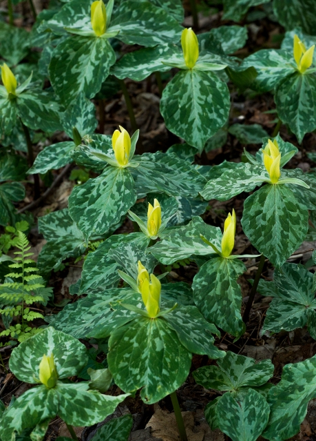 cove hardwood nature trail yellow trillium 1 2014
