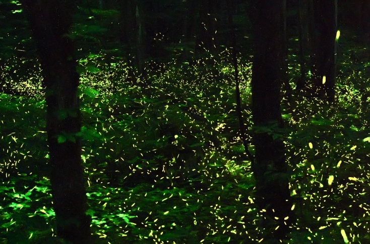 Image result for fireflies smoky mountains