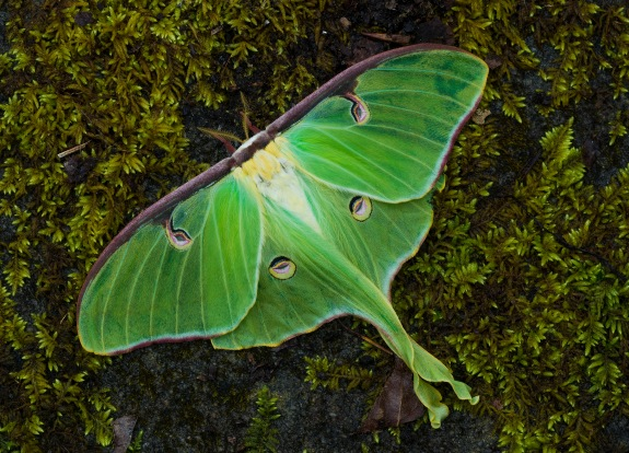 luna moth great smoky mountain national park 2014