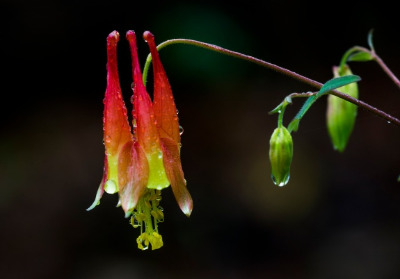 wild columbine 2 2014 clifty falls state park madison indiana