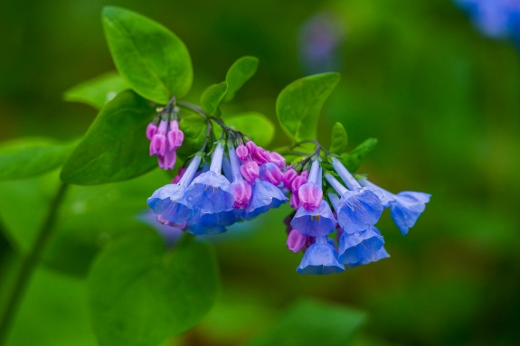 virginia bluebells 1 2015