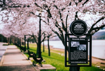 riverwalk cherry trees 1 2016