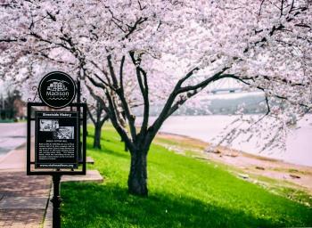 riverwalk cherry trees 2 2016