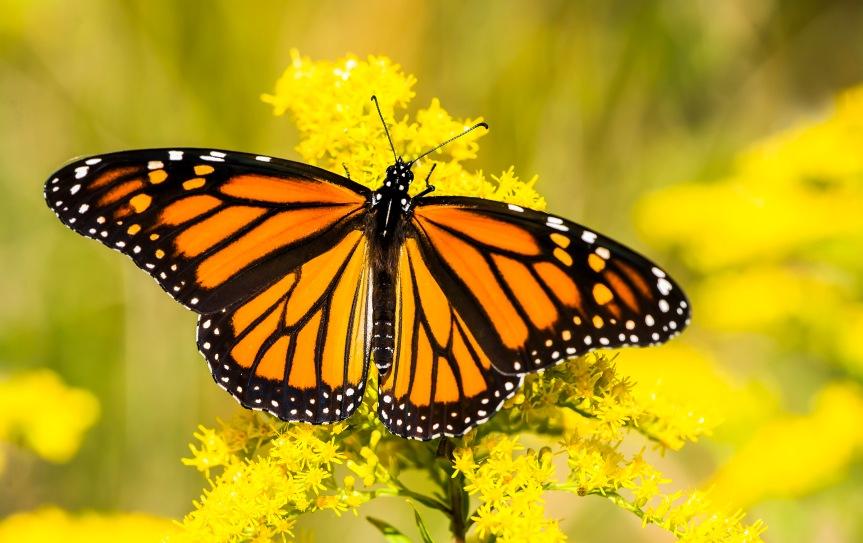 monarchs 2 2017