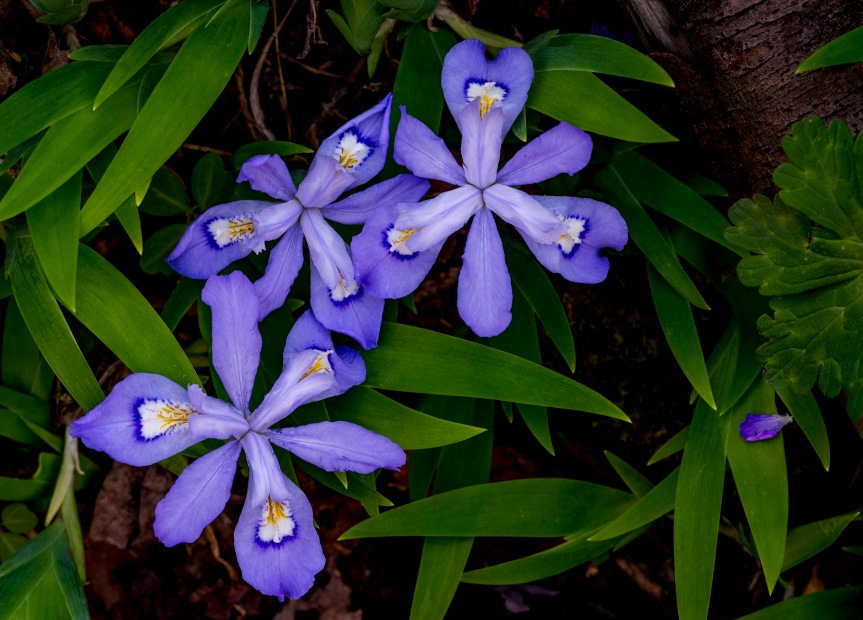 dwarf crested iris 2 2018.jpg