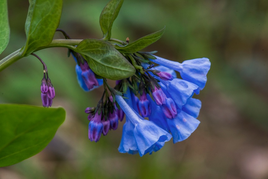 virginia bluebells 2 2018.jpg