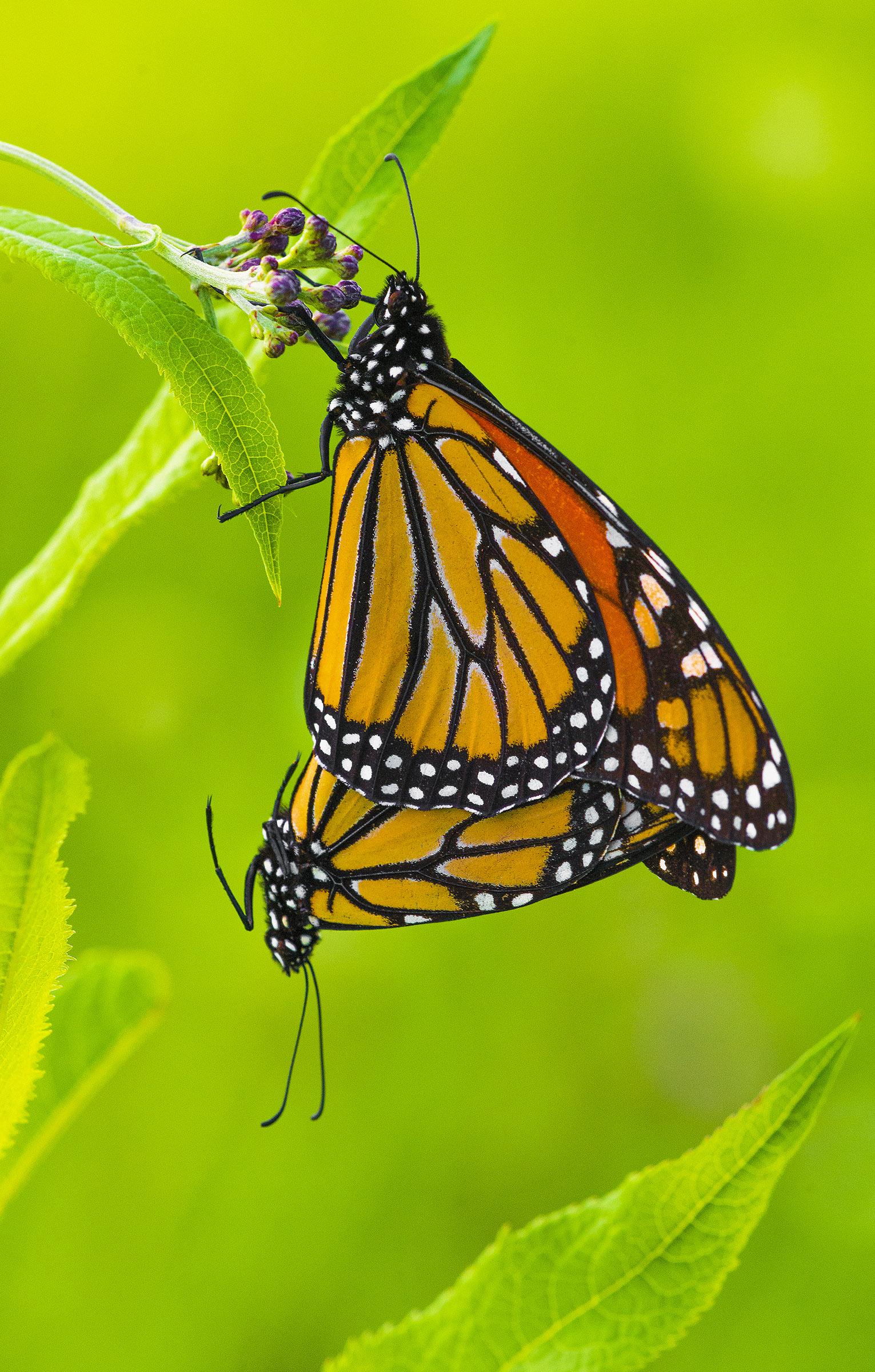 monarch 1 2018