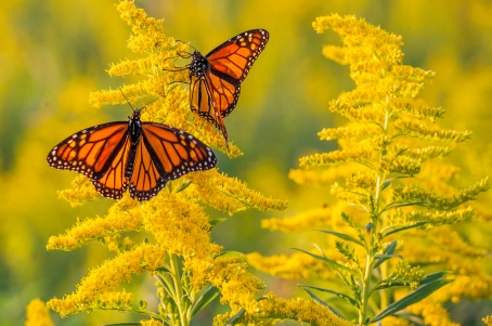 Monarch on Goldenrod