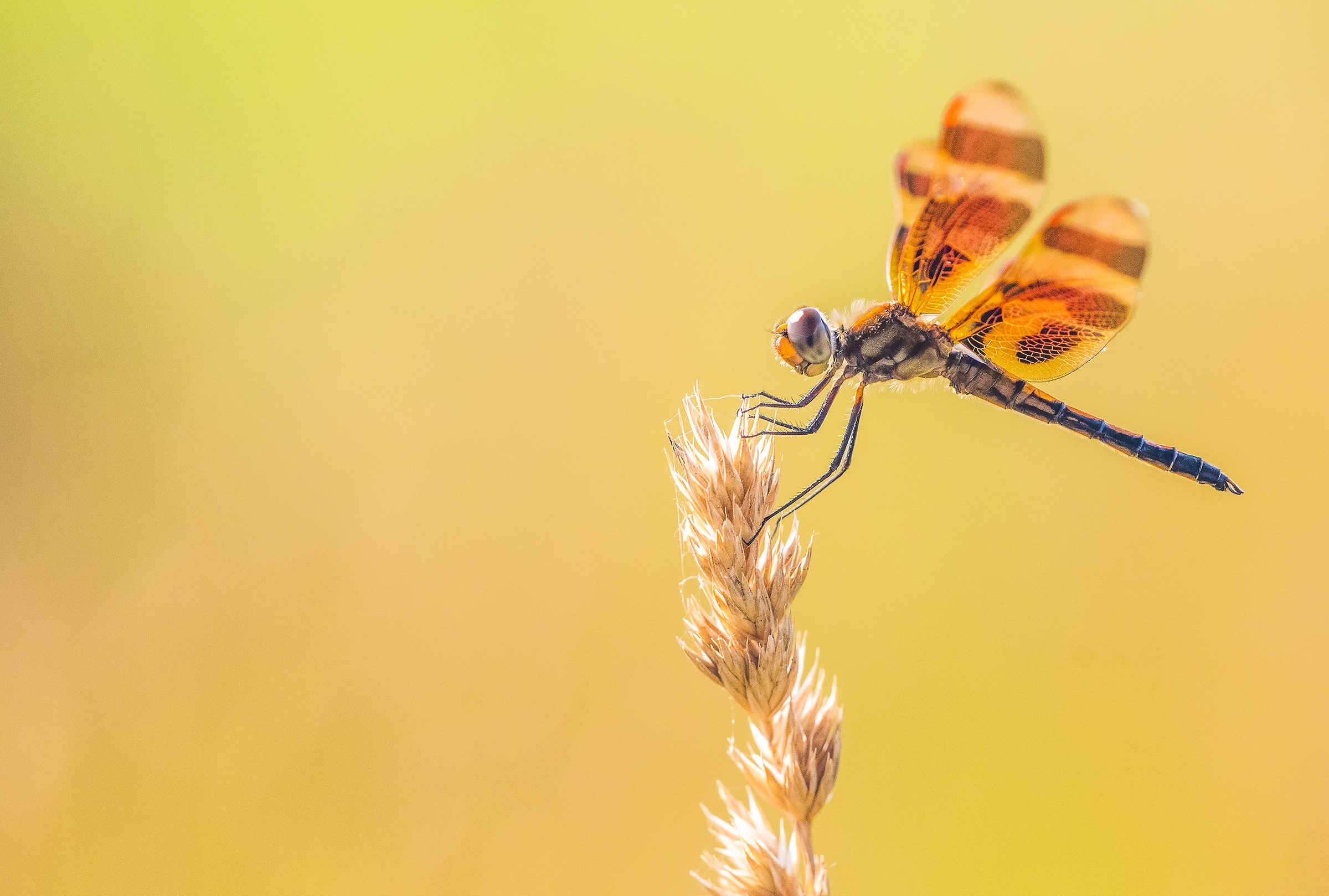 dragonfly 1 2019