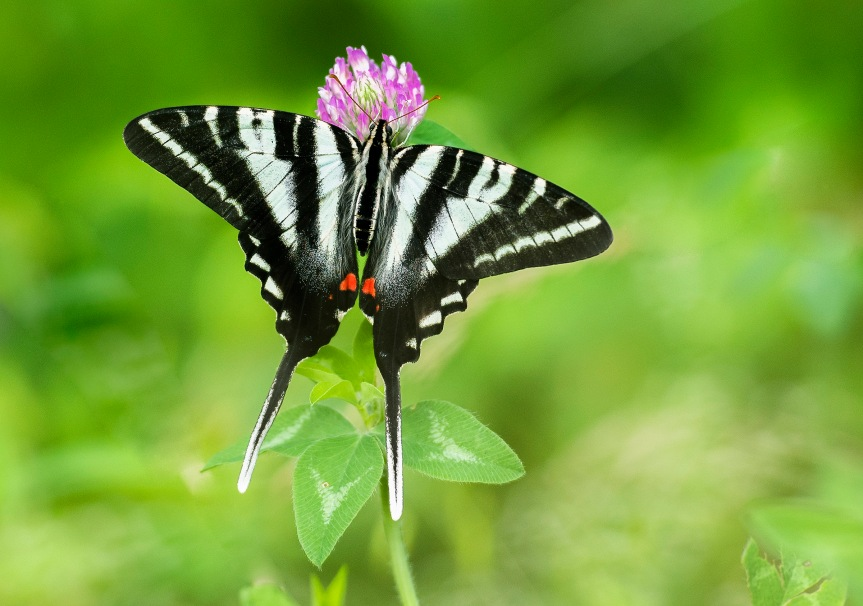 zebra swallowtail 1 2019